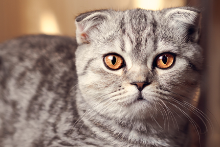 Toned portrait of a cute cat with amber eyes. Scottish fold.