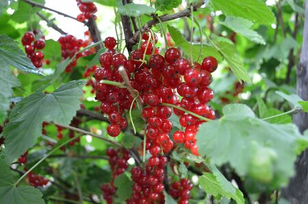 Bush of a red currant