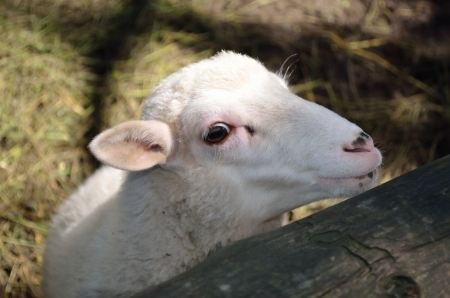 White lamb with a clever look