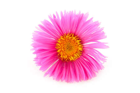 Bright pink flower close-up isolated on white background
