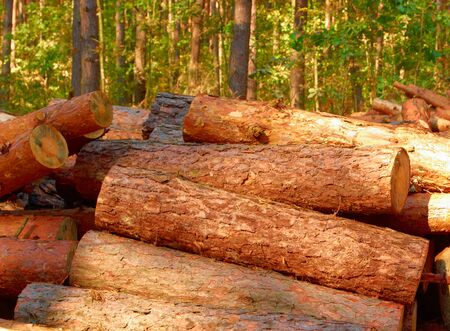 Pine logs loose in the thick woods