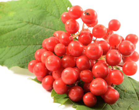 guelder: Red ripe guelder rose lying on the large green leaves close-up