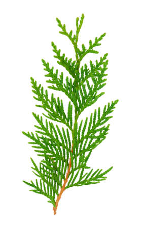 pine needles close up: Green twig plant thuja close up on a white background
