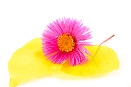 Bright pink flower lying on yellow leaves close up on white background