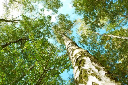 Birch grove on a bright sunny day in summer Stock Photo