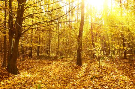 Mysterious autumn deciduous forest on a bright sunny day photo