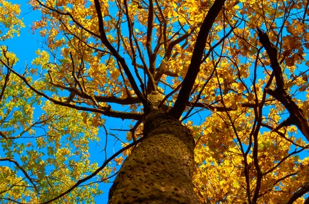 branchy: Old branchy tree in autumn photographed from below