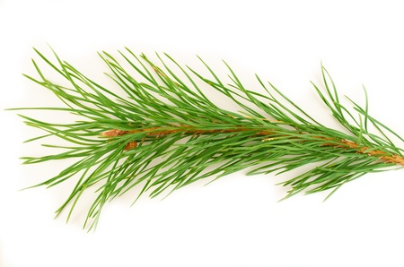 Fluffy green pine branches on a white background