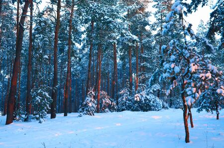 Frosty morning in a mysterious snow-white pine forest