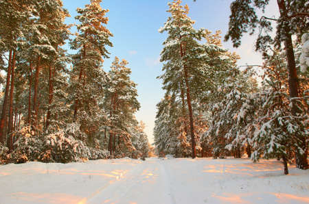 Frosty morning The road to the mysterious winter pine forest photo