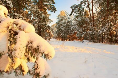 Sunrise Frosty morning in a mysterious snow-white pine forest