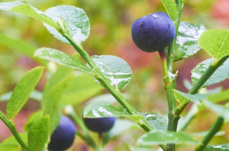 Blueberries covered with dew drops in the summer morning Stock Photo