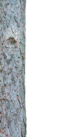 Pine tree isolated on a white background  The tree trunk