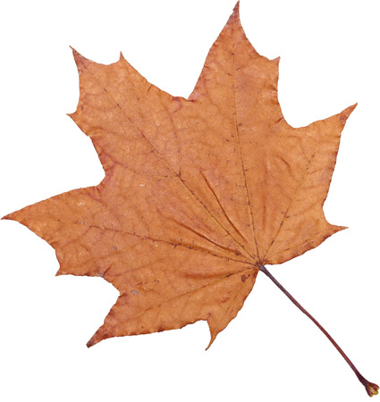 Dry maple leaf close-up on an isolated background