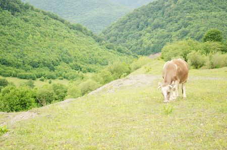 ow in a pasture in the Carpathian Mountains