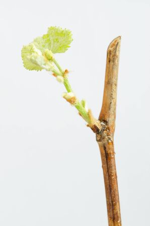 Sprout vine on a white background