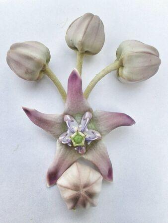 gigantea: flowers of herbal plant, calotropis gigantea