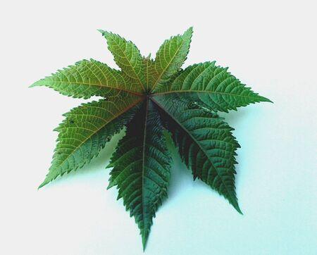 A leaf of castor oil plant