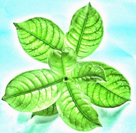 Designed leaves of bogenvilia