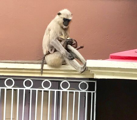 style: An entellus is sitting with her baby