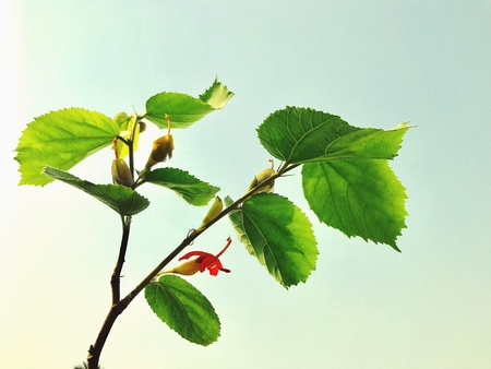 A plant of Gymnema sylvestre with flowers. This is a herbal plant