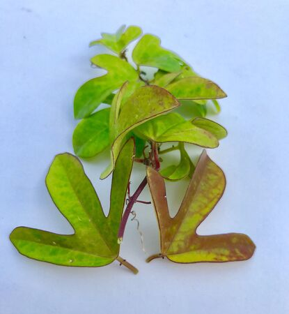 A branch of a creepy plant and two large leaves Stock Photo