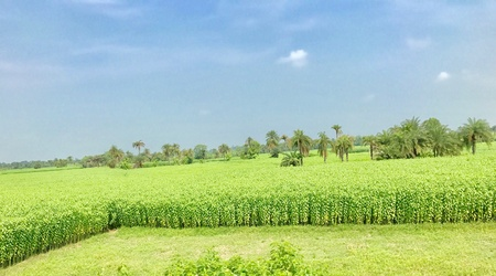 A jute field in the Indian village