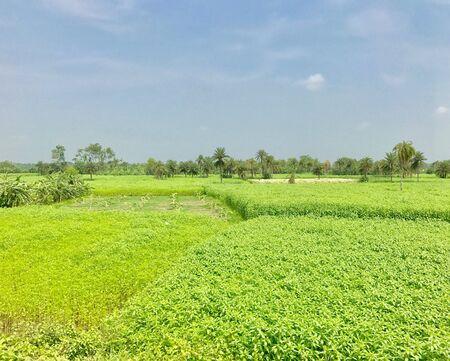 A jute field in a rural area Reklamní fotografie