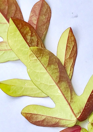 herbolario: A beautiful design made with colourful leaves of a creepy plant