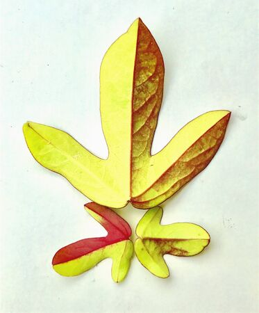 A beautiful design made with colourful leaves of a creepy plant