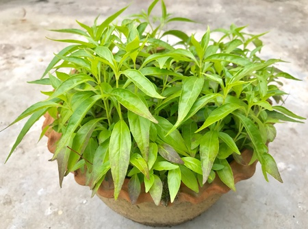 Andrographis paniculata is a very popular and effective herbal medicinal plant in the Ayurvedic medicine system