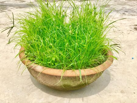 Medicinal grass in a pot