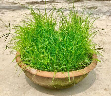 Geneeskrachtig gras in een pot