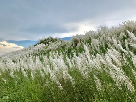 A beautiful natural scenery with sky clouds and catkin flowers