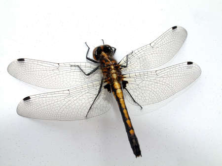 anisoptera: Dragonfly on a Wall Stock Photo