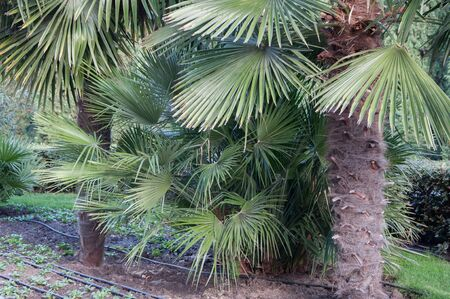 subtropical plants: small palm trees on the lawn in the park in high quality