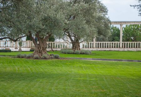 olive trees and lawn in an exotic park in high quality