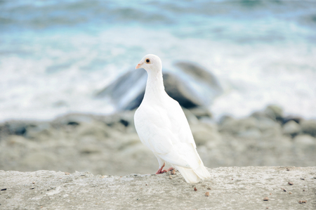 beautiful white dove on a background of the sea in high quality