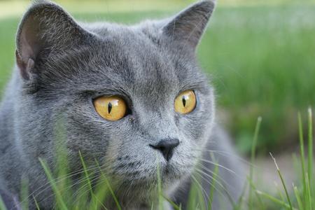 slink: British cat