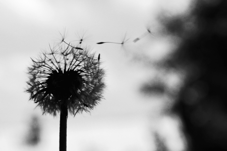 black seeds: Dandelion