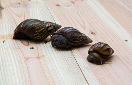 myopic: Lovely family Snail on wooden. Stock Photo