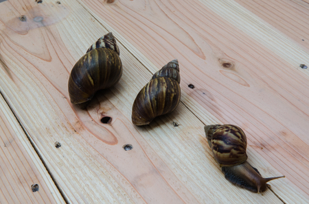 myopic: Image of a snail on wooden.