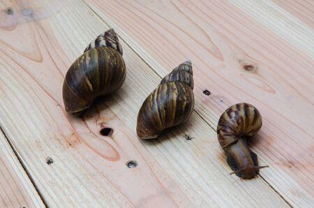 myopic: Lovely family Snail on wooden. Stock Photo