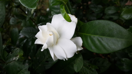ornamental horticulture: PUD bright white flowers that turn white.