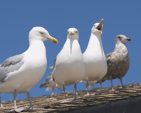 squawk: Seagulls on Roof Stock Photo