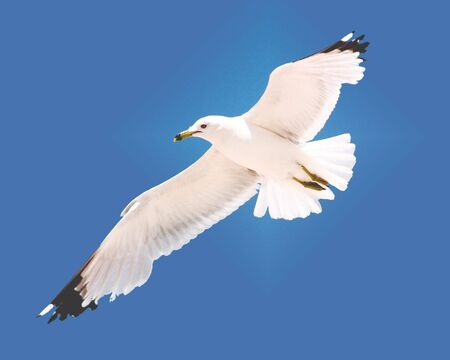 seacoast: Hovering Seagull