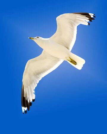 Soaring Seagull 版權商用圖片