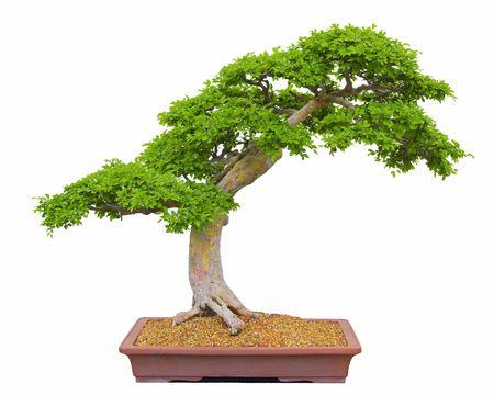 juniper: Bonsai Tree