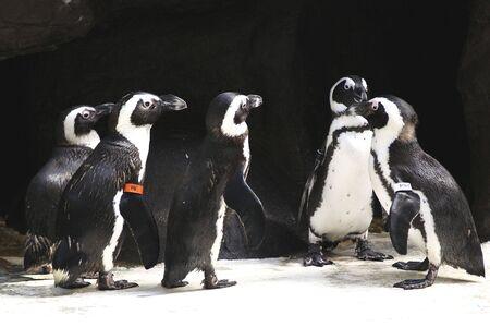 Penguins waddle around at an exhibit 版權商用圖片