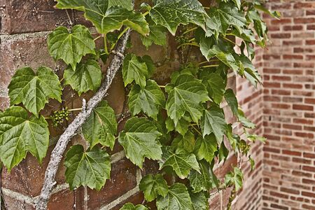 ivy league: Ivy growing on a brick wall